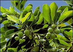 Лавр александрийский (calophyllum inophyllum)