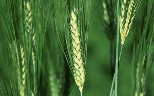 Зародыши пшеницы (triticum vulgare)