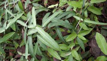 Сассапариль (hemidesmus indicus)