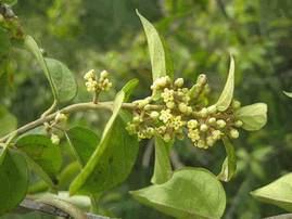 Гурмар - лекарственная трава, известная в Аюрведе как «разрушитель сахара».