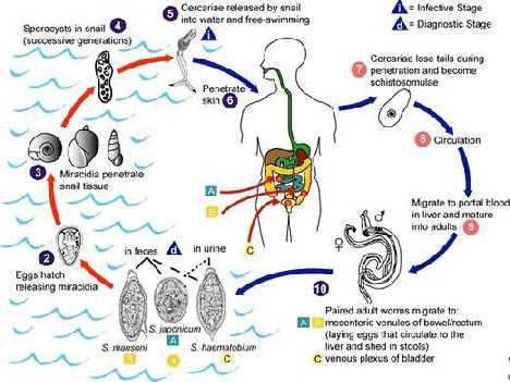 ПАРАЗИТАРНЫЕ БОЛЕЗНИ Дифиллоботриоз