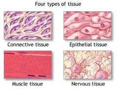 Типы тканей человека