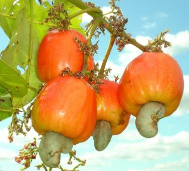 Кешью - польза и вред одного из самых популярных орехов