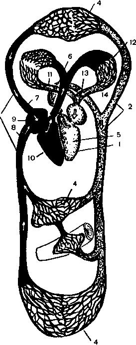 Кровеносная система (артери и вены)