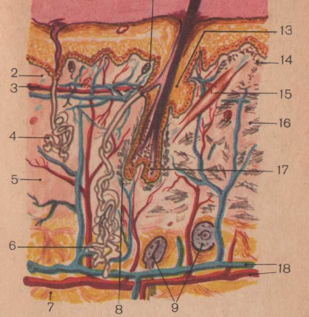 Анатомо-физиологические основы массажа. Строение кожи